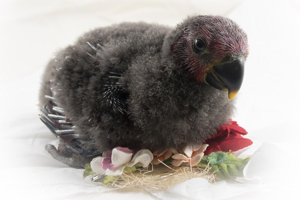 Eclectus Baby Hen