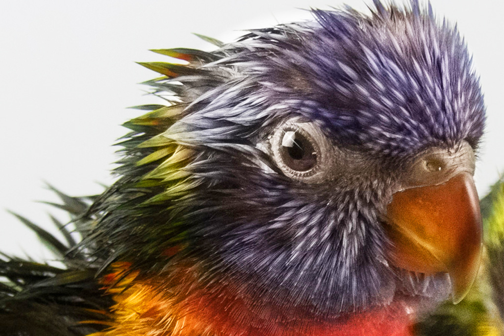 Rainbow Lorikeet Wet