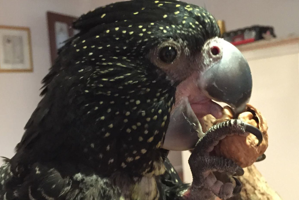 Black Cockatoo Eating
