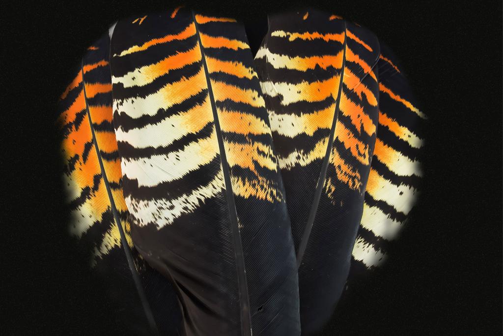Black Cockatoo Feathers