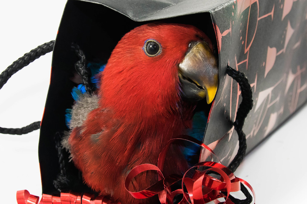 Eclectus Hen Party