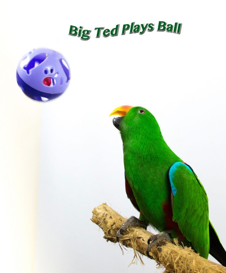 Eclectus Parrot and Ball