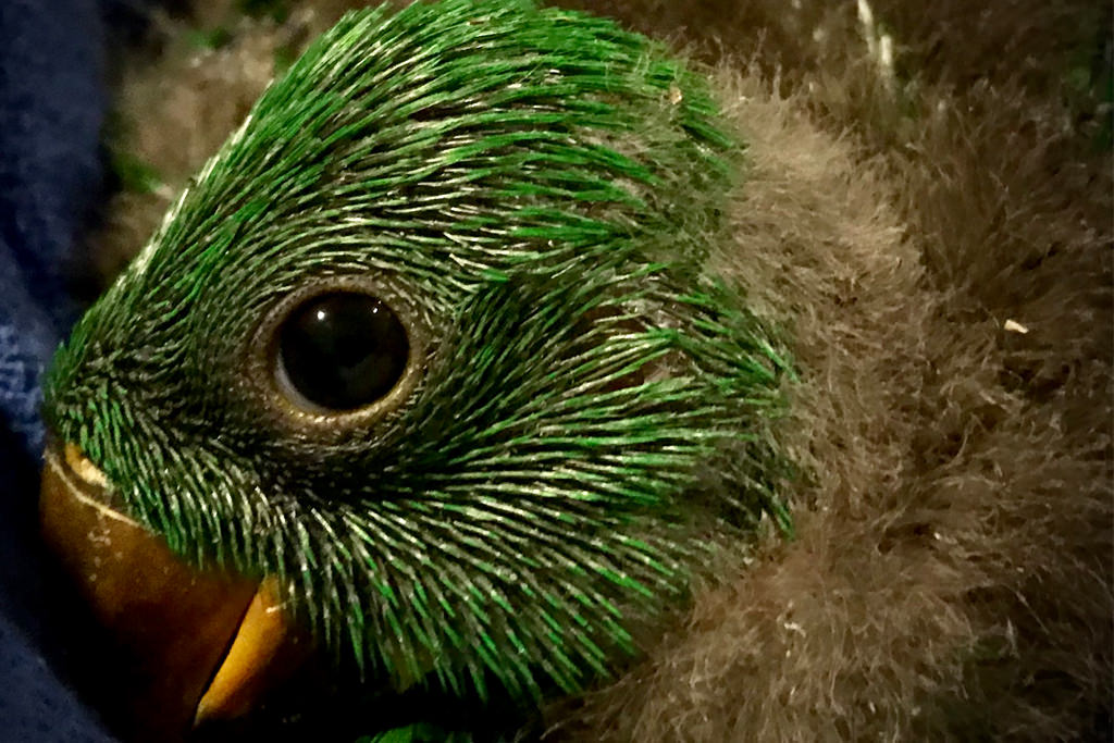 Eclectus Baby Male-1