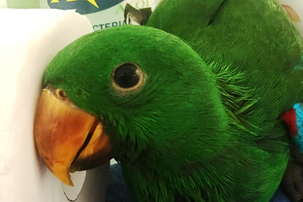 eclectus male and toilet paper