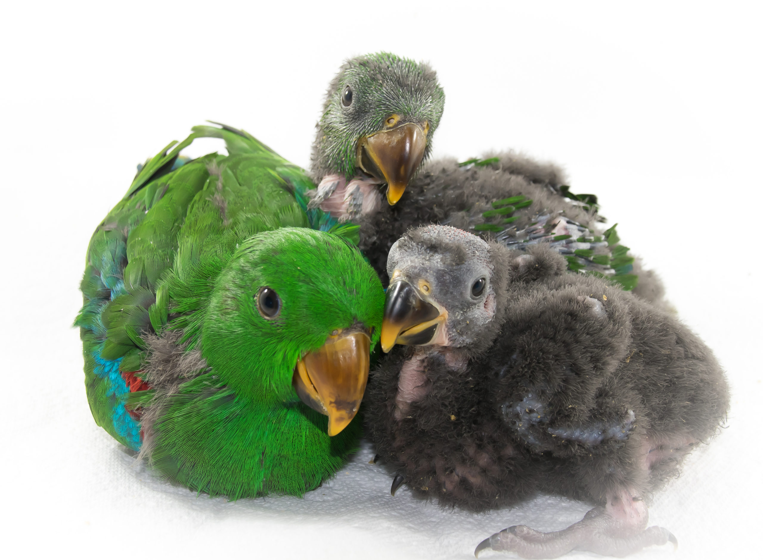 eclectus three