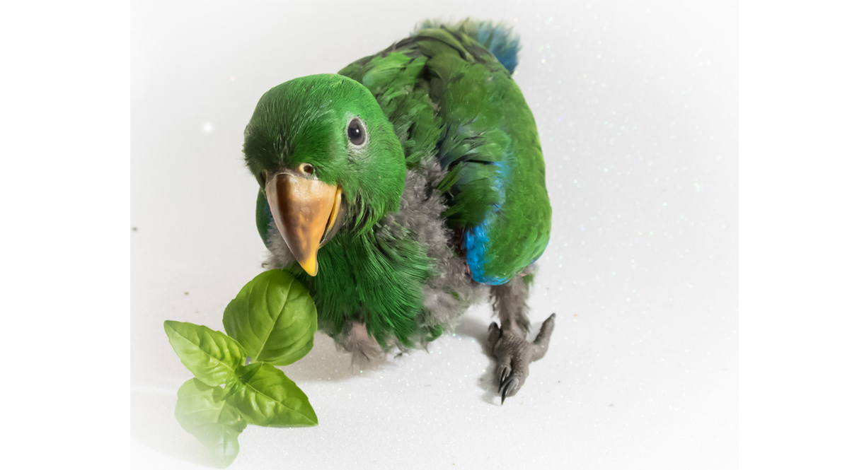 Baby Male Eclectus