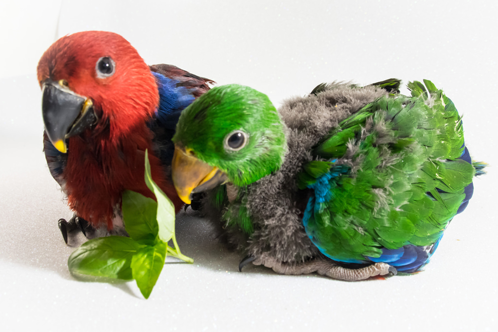 Baby male and female eclectus aprrot